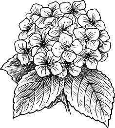 9 Vector Hydrangea Flower Images