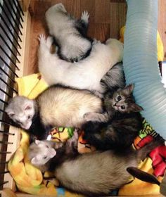 Rescue kitten saved, starts new life with the help of six weaselly big brothers. Awe... so cute!!