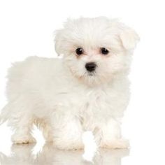 Groom a Maltese puppy's eyes with care.