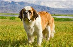 The Saint Bernard is one of the most popular giant dog breeds. But don't let its size fool you; the Saint Be... http://www.pet360.com/dog/breeds/all-about-komondors/45N5bKUM-Uas7iL71UgH_A?utm_source=freekibble_medium=freekibble=fkib