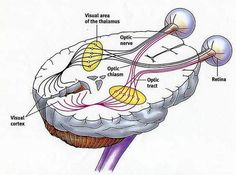 Visual pathway, from the eye back to the visual cortex, in the occipital lobe, in the back of the brain.
