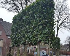 English Laurel, Topiary, Prunus, House Plants, Home Goods, Home And Garden, Outdoor Structures, Moodboards, Amazing Houses