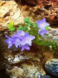 Campanula isophylla #finaleligure