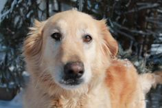 This is Chex Mix a 3 yr old Golden mix. He came to rescue from an Alabama high kill shelter. He is neutered, current on vaccinations, good with dogs. He is undergoing heartworm treatment. Homeward Bound Animal Welfare Group, Mishawaka, IN. - https://www.homewardboundawg.com/Home_Page.php - https://www.petfinder.com/petdetail/31499173/
