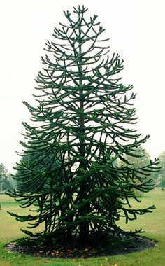 Monkey Puzzle Tree- just one of the many awesome plants that will be in my botanical gardenesque yard!