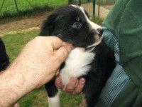 border collie cuccioli stupendi Border Collie, Dogs, Pet Dogs, Doggies, Border Collies, Dog
