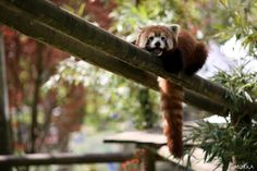 Red pand, Beauval zoo, France.  http://www.morka.fr