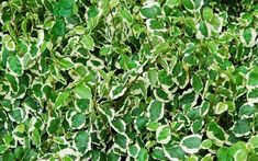 Ficus pumila (creeping fig or climbing fig) is a species of flowering plant in the family Moraceae, native to East Asia.