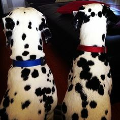 53-54. This Old Married Couple   101 Dalmatians