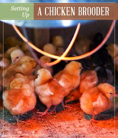 How to Set Up a Chicken Brooder   Homesteading, DIY projects and How To's & Recipes #pioneersettler   pioneersettler.com