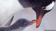 Gentoo penguin (Pygoscelis papua) (Credit: Edwin Giesbers/naturepl.com)