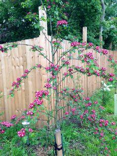 Smooth Hawthorn, English Hawthorne 'Crimson Cloud' (Crataegus laevigata)