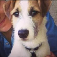 Scapa is a 10 month old Parsons Russel Terrier who loves walks and chewing sticks. He's also been raised in a pub!