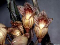Acanthephippium striatum (E. Himalaya to Java).