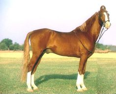 The Marwari Horse of India is used in all European riding disciplines as well as cross-country endurance racing.