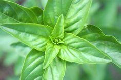 Heirloom Seeds, Sweet Basil