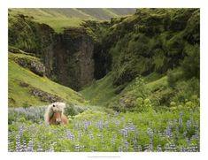 Icelandic Horses XI Poster von PHBurchett bei AllPosters.de
