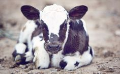 Dairy's Dirty Secret Exposed in New Zealand. This will make you want to be a vegan more than ever!