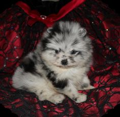 Allstar Poms Want this puppy!!