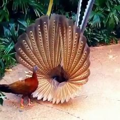 Beautiful peacock showing the open feathers. The colors are outstanding. We usually see them spread out behind them. But this is for a distinct purpose! Funny Animal Videos, Funny Animal Pictures, Cute Funny Animals, Cute Baby Animals, Pretty Birds, Beautiful Birds, Animals Beautiful, Exotic Birds, Colorful Birds