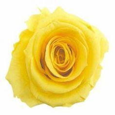 FL0100-02 Standard Rose Yellow