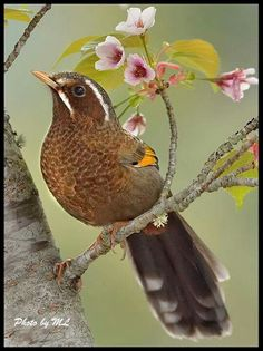 The White-whiskered Laughingthrush (Garrulax morrisonianus) is endemic to the island of Taiwan. Photo: Marie Louise Ng.