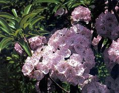 The Mountain Laurel is a member of the heath family (Ericaceae). This family of plants contains many of our most common and best-known shrubs including huckleberries, blueberries, azaleas, cranberries, and rhododendron.