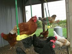 40 amazing facts you might not know about chickens