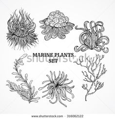 Collection of marine plants, leaves and seaweed. Vintage set of black and white hand drawn marine flora. Isolated vector illustration in line art style.Design for summer beach, decorations. - stock vector