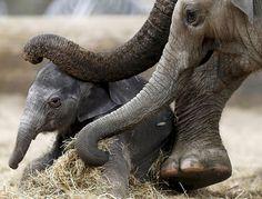 Новорожденный азиатский слон