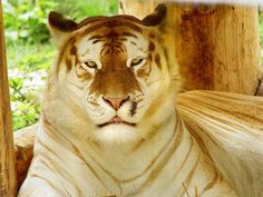 A golden tiger, golden tabby tiger or strawberry tiger is one with an extremely rare color variation caused by a recessive gene that is currently only found in captive tigers. Like the white tiger, it is a color form and not a separate species. In the case of the golden tiger, this is the wide band gene; while the white tiger is due to the color inhibitor (chinchilla) gene. There are currently believed to be fewer than 30 of these rare tigers in the world.  (info from Wikipedia)
