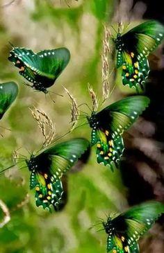 Beauty of green wings! Green Butterfly, Butterfly Flowers, Butterfly Artwork, Butterfly House, Butterfly Pictures, Beautiful Bugs, Beautiful Butterflies, Beautiful Things, Beautiful Pictures