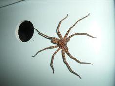 nhện nhà, diệt nhện vui lòng liên hệ dịch vụ diệt côn trùng Pest-Solutions 0901415012 - 0901415013