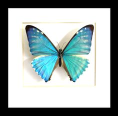 Morpho Butterfly, Blue Morpho, Moth, Insects, Wings, Animals, Animales, Animaux, Animal