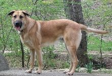 A male Chinook. The Chinook is a rare breed of sled dog, developed in the New England region of the United States in the early 20th century. The Chinook is the official state dog of the state of New Hampshire.