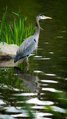 Great blue herons often visit our pond.