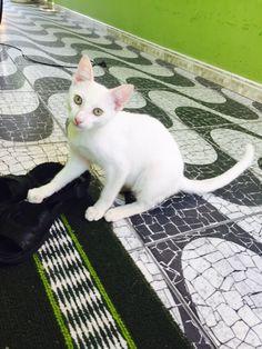 Abel- Lindo gatinho disponível a adoção. Castrado,vacinado e vermifugado. Manaus-Am 98409-1411