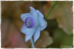 Suvikumpu Rose, Flowers, Plants, Pink, Florals, Roses, Planters, Flower, Blossoms