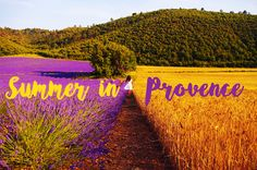 lavender and wheat fields in provence