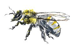 Bee illustration, pen and ink with watercolour wash