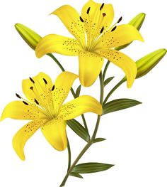 """Photo from album """"Лилии"""" on Yandex. Hd Flowers, Vector Flowers, Flower Clipart, Botanical Flowers, Little Flowers, Beautiful Flowers, Flower Wall, Flower Pots, Lilies Drawing"""