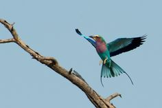 lilac breasted roller - Google Search
