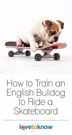 English Bulldog Funny, English Bulldog Puppies, Baby English Bulldogs, Miniature English Bulldog, Funny Bulldog, Baby Bulldogs, French Bulldogs, Bulldog Skateboard, Bulldog Puppies For Sale