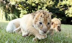Un lion et une tigresse blancs qui s'accouplent, ça donne ça... Le résultat est juste adorable !