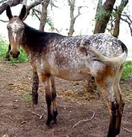Mule Foal Grulla | Grulla mule has more black over neck and shoulders than the horse ...