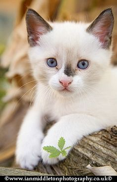 Cute 2 month old white kitten with black mark on nose | Flickr - Photo Sharing!