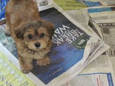 Penny YorkiPoo is an adoptable Yorkshire Terrier Yorkie Dog in Gainesville, GA.