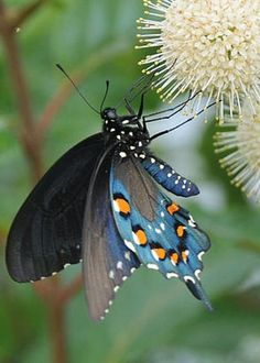 janetmillslove:  Pipevine Swallowtail moment love