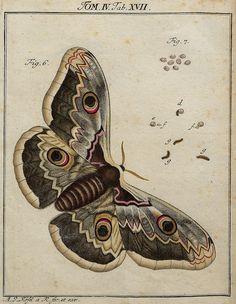 moth / butterfly illustration