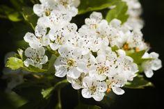 Il Biancospino è uno dei fiori portafortuna per il 2017. Augura serenità e gioia